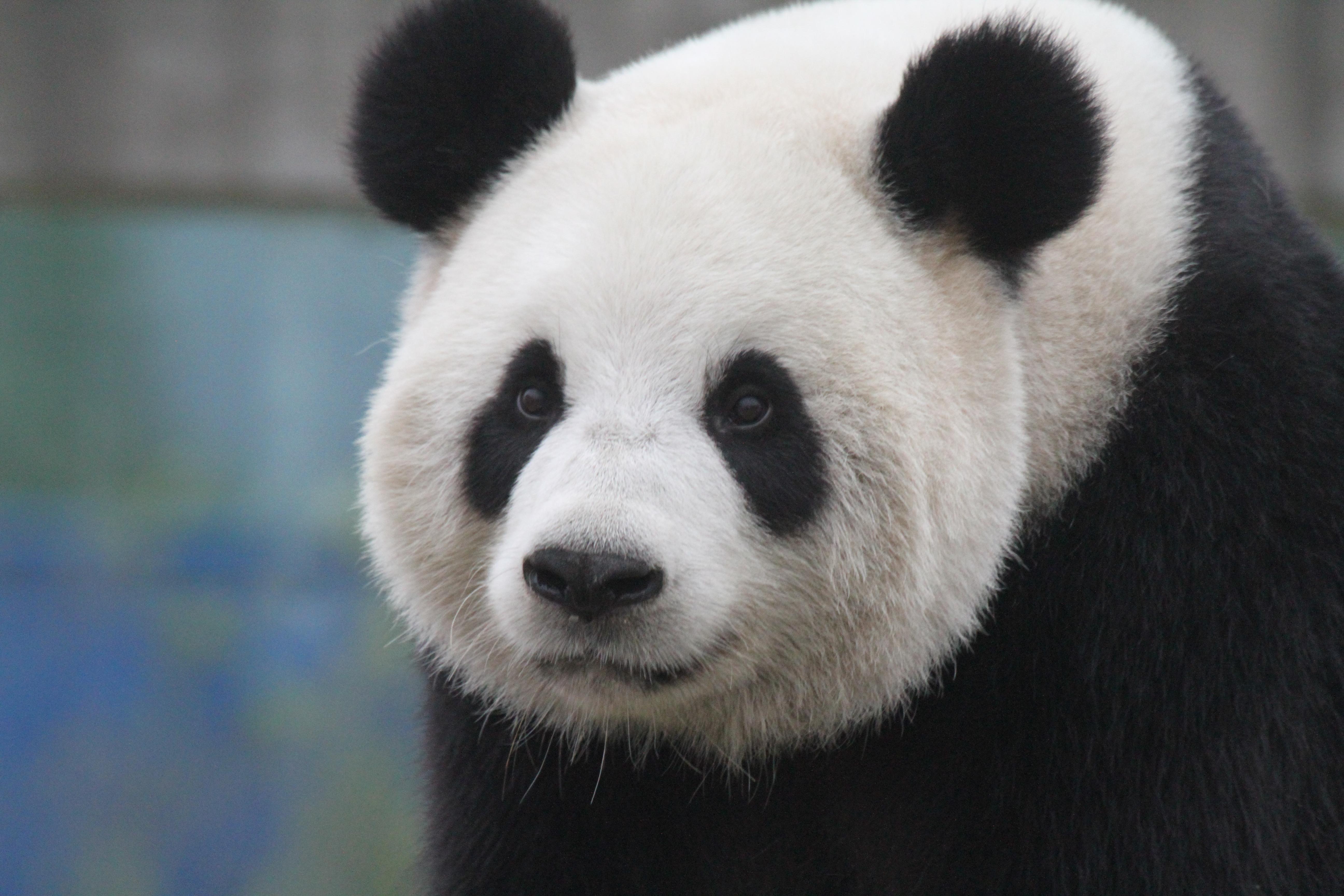 Giant Pandas A Beautiful Gift From China To Belgium