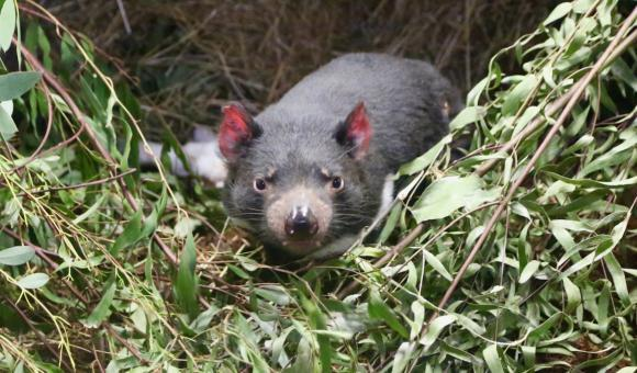 De la taille d'un petit chien, le Diable de Tasmanie a un corps trapu et robuste.