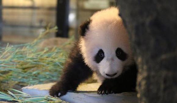 Pairi Daiza a aussi remporté le prix de la plus belle naissance grâce à l'arrivée du bébé panda Tian Bao.